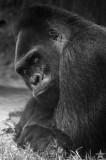 Gorilla Glamor