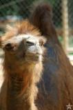 Camel Eye