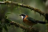 Birds in Ranomafana