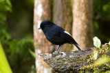 White-winged Robin