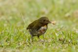 Rufous-naped Whistler (juvenile)