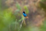 Blue Bird of Paradise (M)