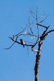 King of Saxony Bird of Paradise (M)