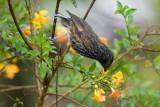 Grey-streaked Honeyeater