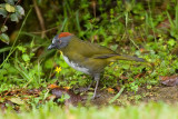Rufous-naped Whistler (adult)