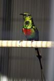 Male Beautiful Sunbird.jpg