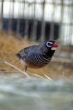 Male quail fincha.jpg