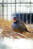 femle quail finch.jpg