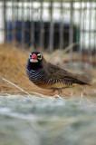 male quail finch.jpg