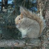 Écureuil gris (forme blanche)