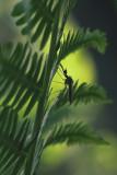 Insecte sur Fougère