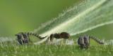 Nymphes de Cérèse buffle éffilée - Campylenchia latipes - Fourmi