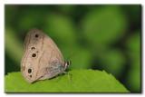 Petit Satyre des bois - Megisto cymela cymela