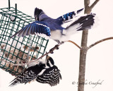 Blue Jay and Hairy Woodpecker-Suet Wars!