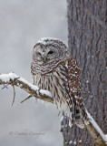 Barred Owl in a snowstorm