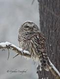 Barred Owl- snowstorm