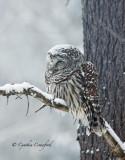 Barred Owl sleepy