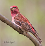 Purple Finch-a survivor