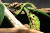 Garter Snake - Green Tree Frog