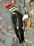 Piliated Woodpecker female