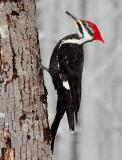 Female Piliated Woodpecker
