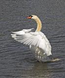 Mute Swan (Cygnus olor)?
