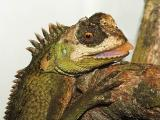 Mountain Horned Dragon - Acanthosaura capra
