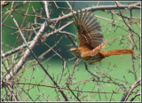 Northern Mocking Bird & Thrashers
