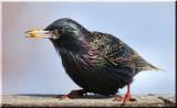 Starlings RedWings Grackles Cowbird