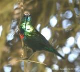 Shining Sunbird