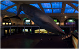 Blue Whale Milstein Hall of Ocean Life