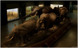 Akeley Hall of African Mammals 2