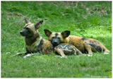 2006 Bronx Zoo - African Wild Dogs