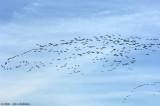 Geese Patterns