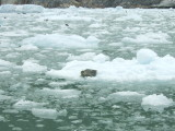 Seals in Tracy Arm Fjord