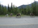 Stone Sheep on the Alaska Highway