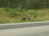 Brown Bear Along Alaska Highway