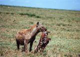 Tanzanian Hyena (1997)