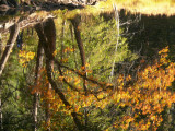 Showy oak