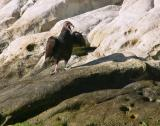 Ham turkey vulture performs