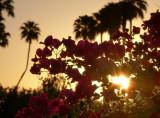 Sunrise, bouganvilleas, palms