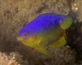 Cocoa Damselfish Juvenile