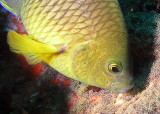 Cocoa damselfish, nesting