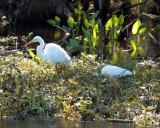IMG_4096 egrets.jpg