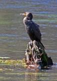 IMG_4156 cormorant.jpg