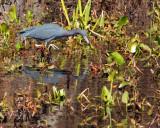 IMG_4180 small blue heron.jpg