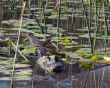 IMG_4297 alligator lillies.jpg