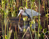 IMG_4314 little blue heron.jpg