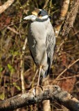 IMG_4399 gold crowned night heron.jpg