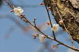 Huidong Plum Blossom  2011-01-08
